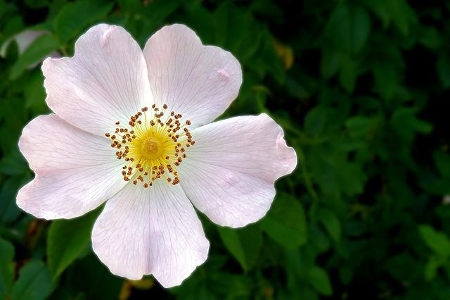 Wild Rose, Blossom, Bloom, Spring, Pink