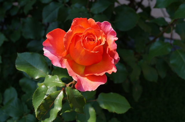 Rose Bloom, Spring, Blossom, Bloom, Rose