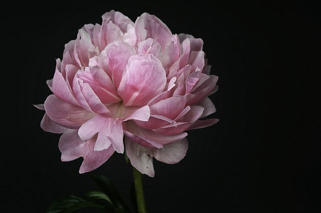 Peony, Blossom, Bloom, Pink, White, Spring, Flower