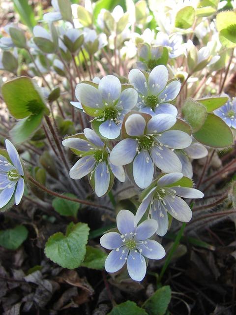 Hepatopsidae, Liverwort, Blue, Spring, Flower, Bloom