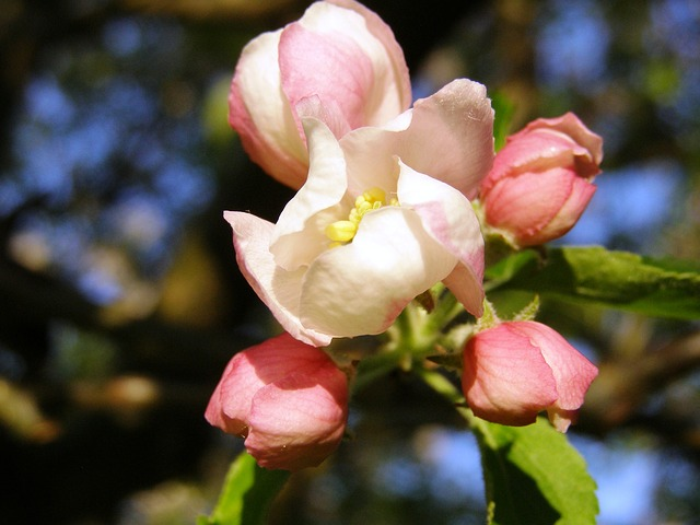 Apple Blossom, Close, Spring, Apple Tree, Bloom