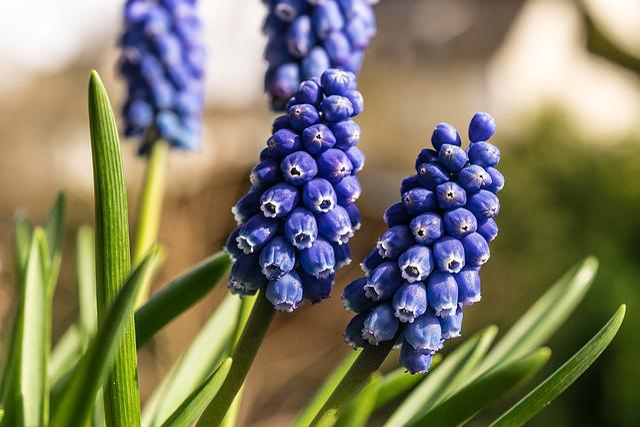 Spring, Flower, Hyacinth, Blue, Grape, Garden, Bloom