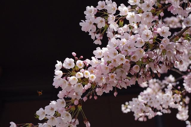 Sakura, Flower, Spring, Cherry Blossoms, Bloom, Japan