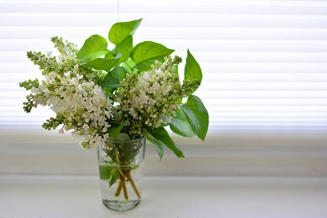 Lilac, White Lilac, Spring, Flowers, Bloom