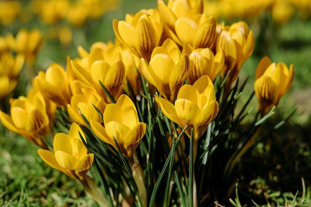 Crocus, Flowers, Bloom, Yellow, Spring, Meadow