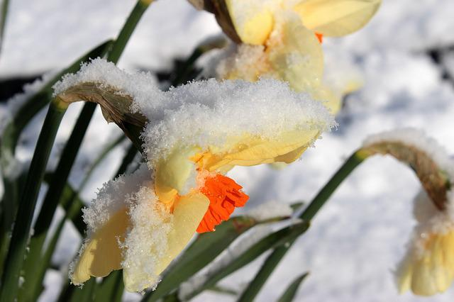 Narcissus, Blossom, Bloom, Daffodil, Spring