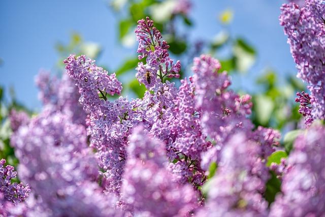 Lilac, Olive Crop, Purple, Bloom, Tree, Spring, Garden