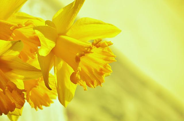 Daffodils, Osterglocken, Yellow, Blossom, Bloom, Spring