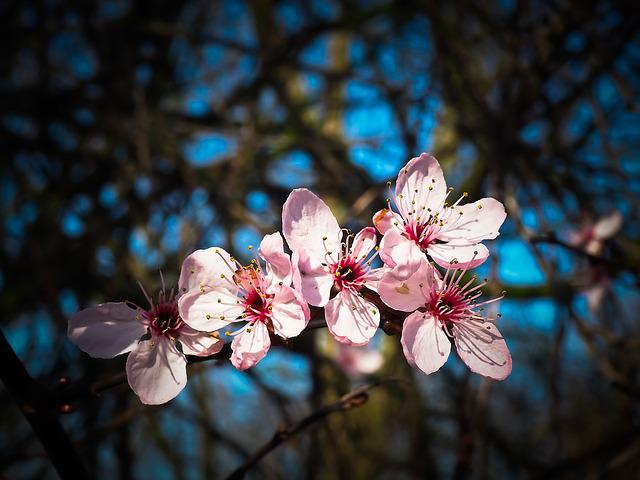 Almond Blossom, Steinobstgewaechs, Flowers, Bloom
