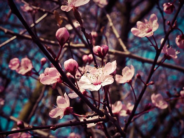 Almond Blossom, Steinobstgewaechs, Flowers, Bloom