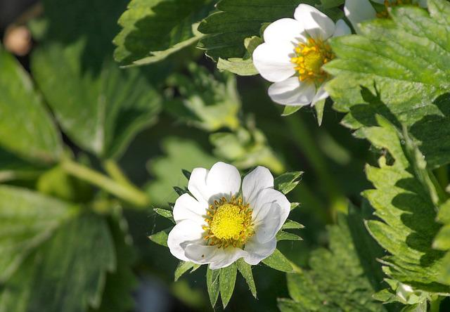 Strawberry Flower, Bloom, Strawberry Plant, Fragaria