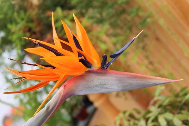 Strelizie, Blossomed, Blossom, Bloom, Bright