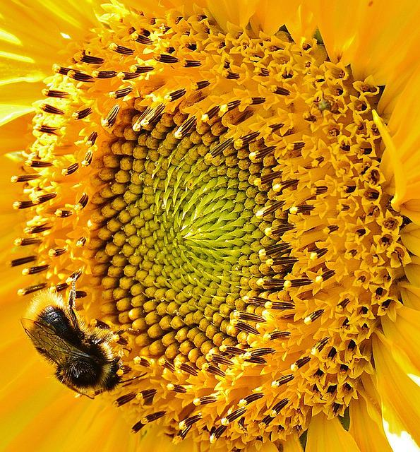 Sun Flower, Hummel, Summer, Garden, Blossom, Bloom