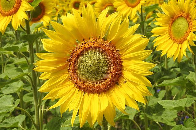 Sunflower, Blossom, Bloom, Yellow, Summer, Helianthus