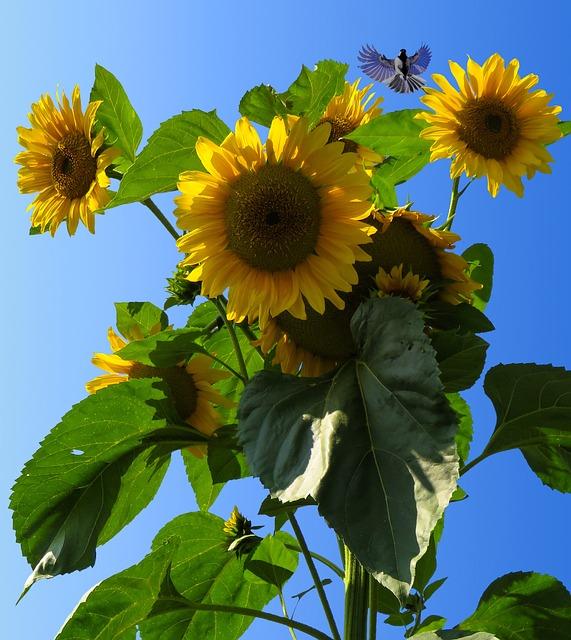 Sun Flower, Blossom, Bloom, Flower, Yellow, Bird, Tit