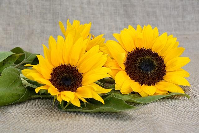 Sun Flower, Flower, Yellow, Summer, Blossom, Bloom