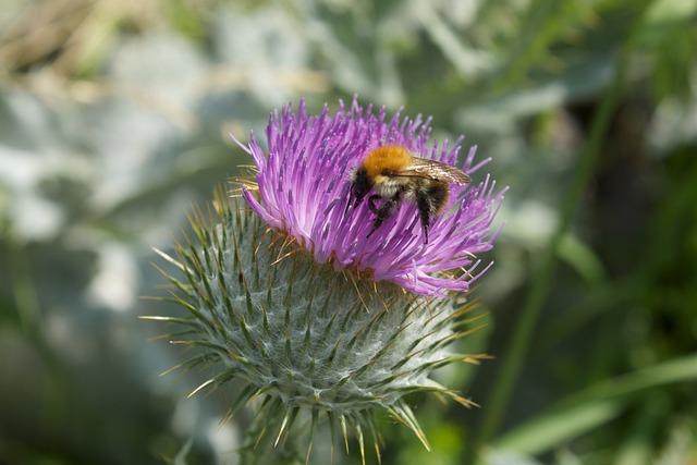 Thistle Flower, Hummel, Blossom, Bloom, Flora, Fauna