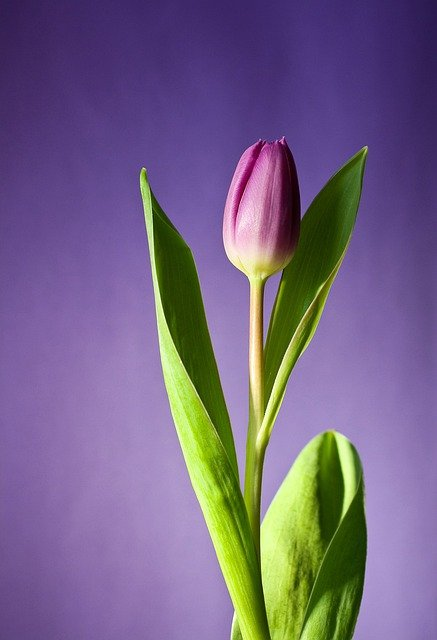Tulip, Flower, Bloom, Pink, Flowers, Spring, Nature