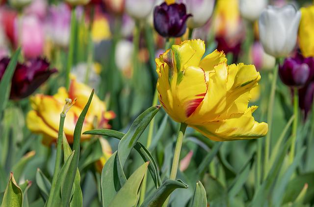 Tulip, Blossom, Bloom, Three Coloured, Early Bloomer