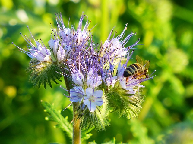 Phacelia, Bees, Blossom, Bloom, Tufted Flower, Violet