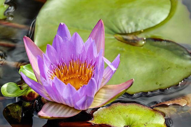 Water Lily, Flower, Blossom, Bloom, Bloom, Purple