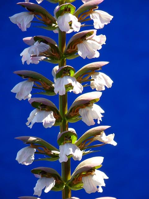 Balkan Bärenklau, Plant, Bloom, White, Acanthus