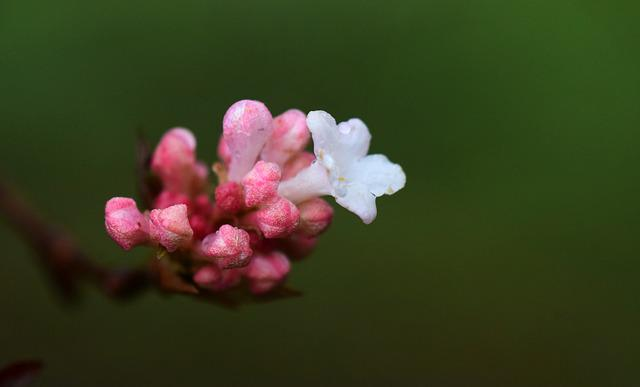 Blossom, Bloom, Small, Small Flower, White, Pink, Bud