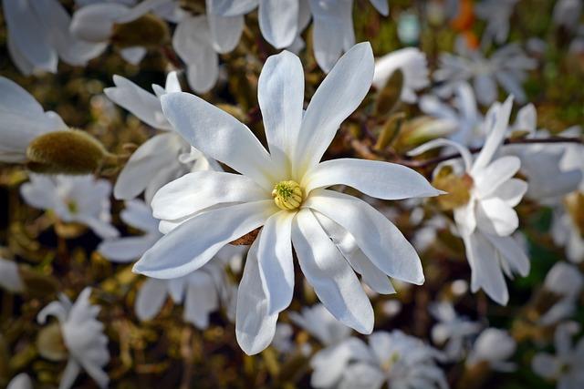 Star Magnolia, Magnolia, Bloom, White, Blossom, Bloom