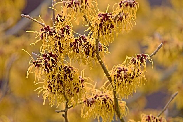 Witch Hazel, Winterblueher, Bloom, Bush, Flowers