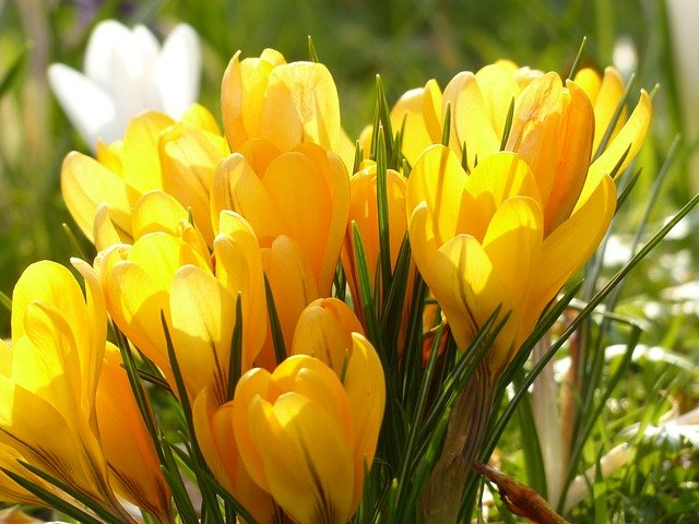 Crocus, Yellow, White, Bloom, Blossom, Bloom, Plant