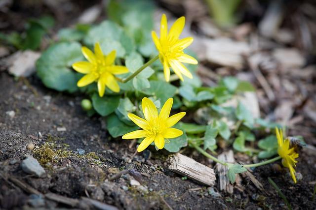 Celandine, Ranunculus Ficaria, Yellow, Blossom, Bloom