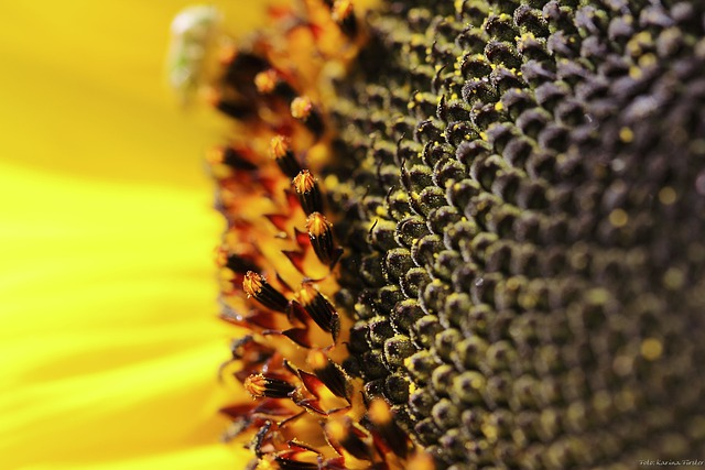 Flower, Blossom, Bloom, Sunflower, Yellow, Summer