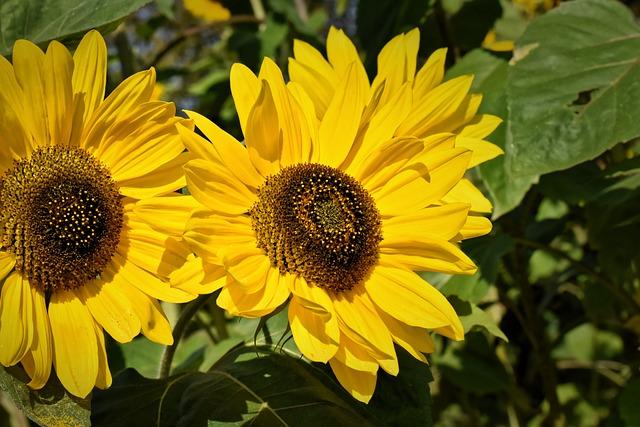 Sunflower, Summer, Garden, Blossom, Bloom, Yellow