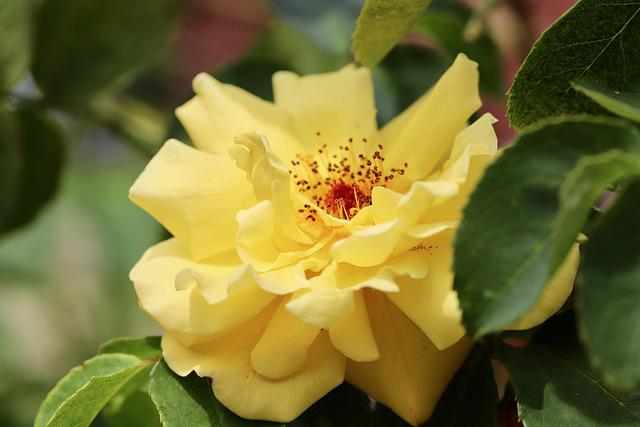 Rose, Rose Bloom, Golden Yellow, Yellow, Blossom, Bloom
