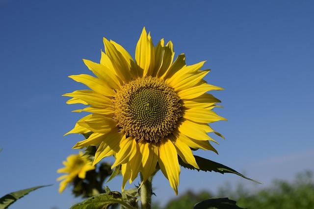 Sun Flower, Summer, Sky, Close, Blossom, Bloom, Yellow