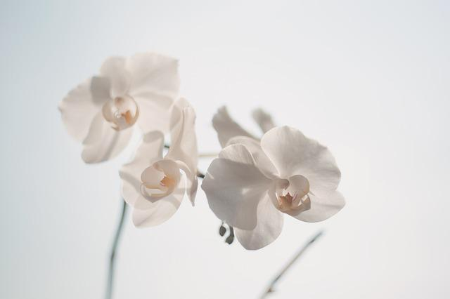Beautiful, Orchids, White, Bloom, Blooming, Blossom