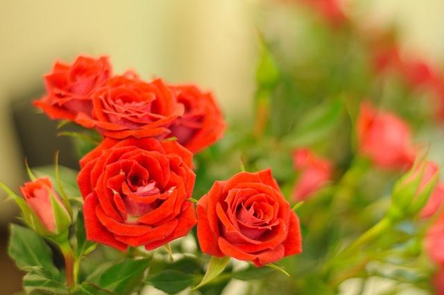 Rose, Flower, Petal, Floral, Flora, Blooming, Bouquet