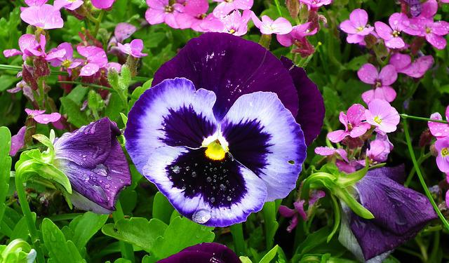Flower, Pansy, Garden, Plant, Spring, Blooming