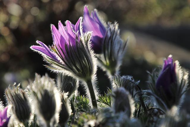 Sasanka, Spring, Nature, The Bells, Fluffy, Blooming