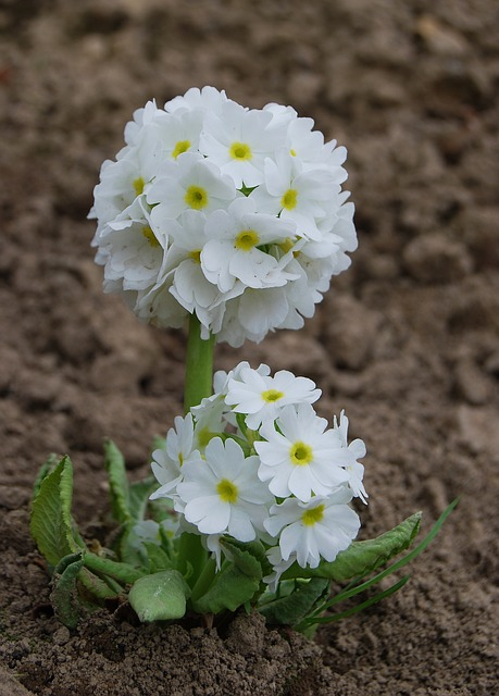 Flower, Nature, Plant, No One, Blooming, Primula
