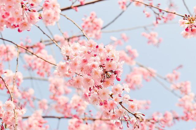 Cherry Tree, Flowering Tree, Blooming, Pink, Flowers