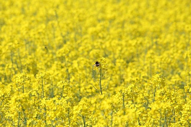 Rape, Bumblebee, Rape Field, Blooming Rapeseed