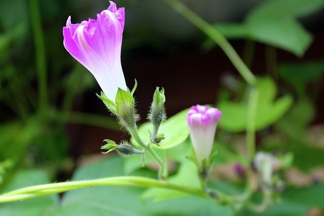 Bindweed, Creeper, Blooming, The Delicacy, Flowers