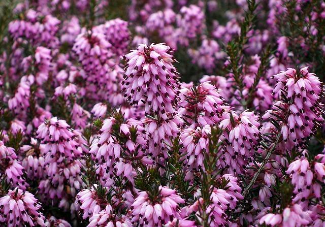 Erica, Flowers, Nature, Plant, Blooming, Garden, Winter