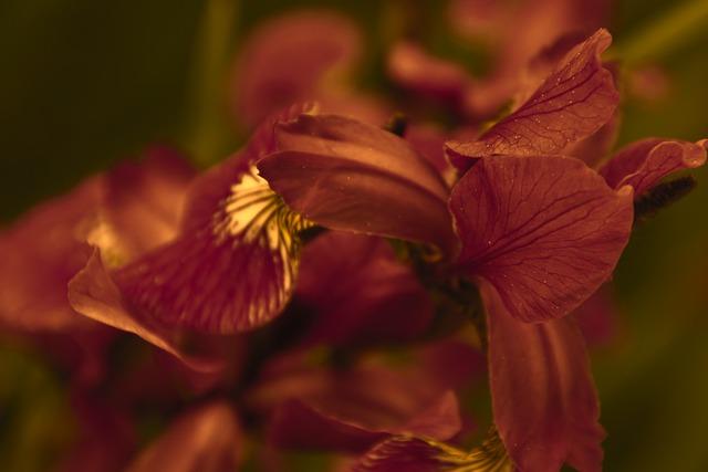 Iris, Fleur-de-lis, Flower, Blooms At