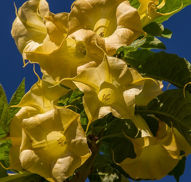 Flowers, Yellow, Angel's Trumpet, Brugmansia, Blooms