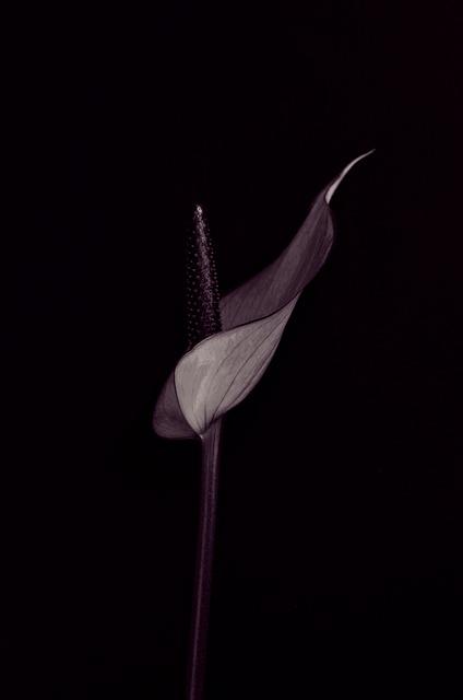 Anthurium, Flower, Blossom, Bloom, Purple