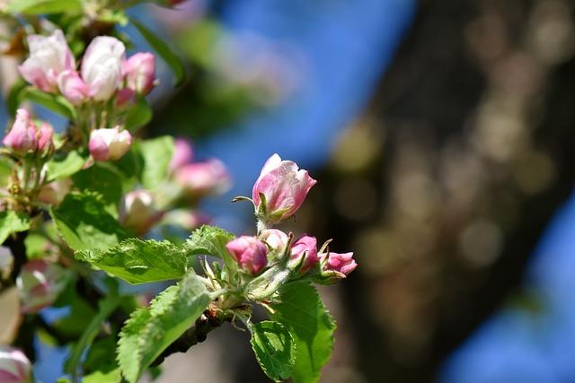 Apple Blossom, Blossom, Bloom, Apple Tree Flowers
