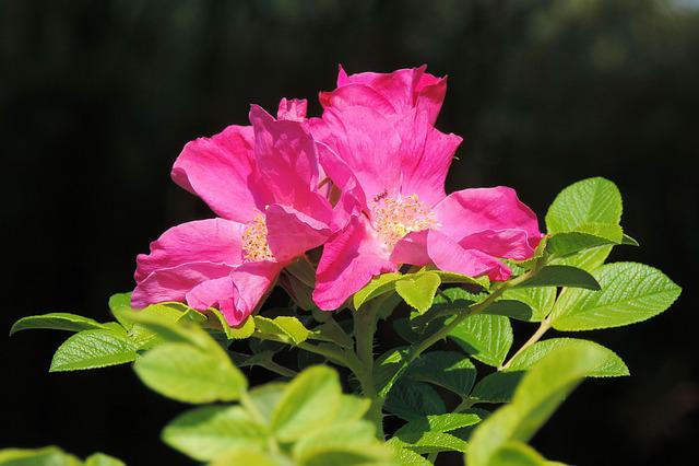 Wild Rose, Rose Hip, Blossom, Bloom, Autumn