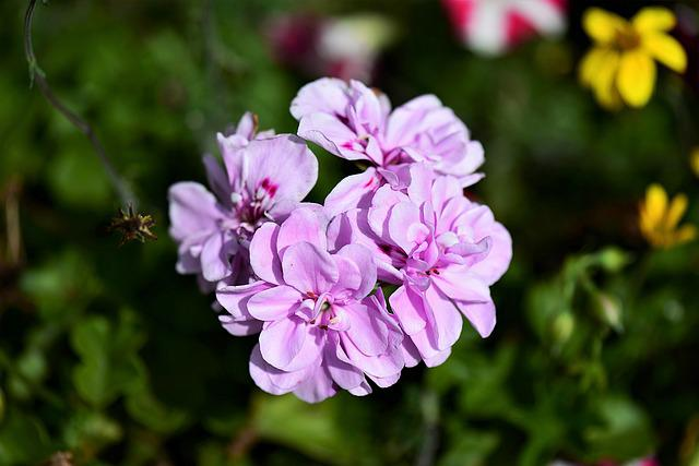 Begonias, Blossom, Bloom, Balcony Plant, Schiefblatt